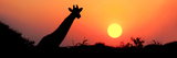 Giraffe (Giraffa Camelopardalis) at Sunset, Etosha National Park, Namibia Fotografisk tryk