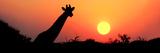 Giraffe (Giraffa Camelopardalis) at Sunset, Etosha National Park, Namibia Lámina fotográfica
