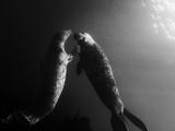 A Pair of Seals Swim in Waters Off the Farne Islands Stampa fotografica di Cesare Naldi