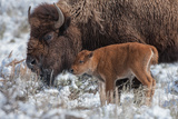 An American Bison Calf Stands Next to an Adult Photographic Print by Tom Murphy