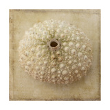 Sepia Shell II Print by Judy Stalus