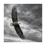 Aquila in volo Stampe di  PHBurchett