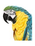 Watercolor Parrot Reproduction giclée Premium par Naomi McCavitt