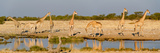 Giraffes (Giraffa Camelopardalis) at Waterhole, Etosha National Park, Namibia Fotografisk tryk af Panoramic Images