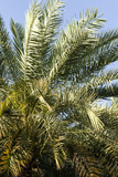 A Date Palm Tree Growing on an Irrigated Agricultural Terrace in an Ancient Desert Village Photographic Print by Jason Edwards