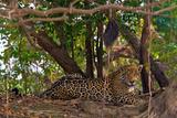 A Wild Jaguar Rests Along the Banks of the Cuiaba River Reproduction photographique par Steve Winter