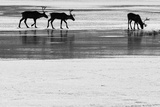 Barren Ground Caribou on the Open Snow-Covered Tundra of Northern Canada Photographic Print by Peter Mather