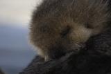 Close Up of a Sea Otter Pup, Enhydra Lutris, Nursing Reproduction photographique par Jeff Wildermuth