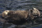 A Sea Otter Pup, Enhydra Lutris, Resting on its Mother's Stomach in a Kelp Bed Reproduction photographique par Jeff Wildermuth