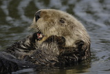 Portrait of a Sea Otter, Enhydra Lutris, Floating on its Back Reproduction photographique par Jeff Wildermuth
