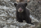 Portrait of a Weeks-Old Black Bear Cub, Out of its Den for the First Time Photographic Print by Peter Mather
