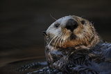 Close Up Portrait of a Sea Otter, Enhydra Lutris, Floating on its Back Reproduction photographique par Jeff Wildermuth