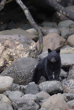 An American Black Bear Cub, Ursus Americanus, Foraging on a Rocky Shore Reproduction photographique par Jeff Wildermuth