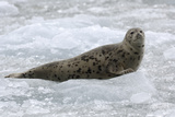 Portrait of a Seal Resting on an Ice Floe Reproduction photographique par Jeff Wildermuth