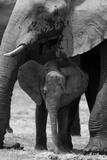 An African Elephant Calf Standing under its Mother Fotografisk trykk av Beverly Joubert