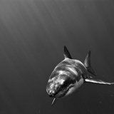 Portrait of a Great White Shark, Carcharodon Carcharias, Swimming Reproduction photographique par Jeff Wildermuth