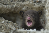A Weeks-Old Black Bear Cub Crying as it Comes Out of its Den for the First Time Photographic Print by Peter Mather