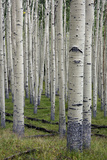 Aspen Trees Along the Inner Basin Trail in the Coconino National Forest Reproduction photographique par Scott Warren