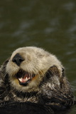 Portrait of a Sea Otter, Enhydra Lutris, Grooming While Floating on its Back Reproduction photographique par Jeff Wildermuth