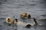 Two Sea Otters, Enhydra Lutris, Floating on their Backs Reproduction photographique par Jeff Wildermuth