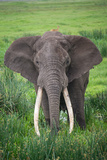 Portrait of African Elephant (Loxodonta Africana), Ngorongoro Crater Fotografisk tryk af Green Light Collection