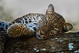 Leopard (Panthera Pardus) Lying on a Tree, Ndutu, Ngorongoro Conservation Area, Tanzania Fotografisk trykk