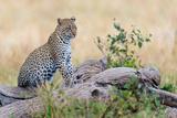 Leopard (Panthera Pardus) Climbing on Tree, Serengeti National Park, Tanzania Fotografisk trykk av Green Light Collection