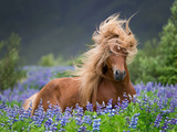Horse Running by Lupines. Purebred Icelandic Horse in the Summertime with Blooming Lupines, Iceland Lámina fotográfica