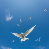 Arctic Terns Flying, Iceland Reproduction photographique