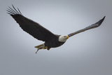 A Bald Eagle, Haliaeetus Leucocephalus, in Flight with a Just-Caught Fish Photographic Print by Kent Kobersteen