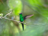 A Violet-Capped Woodnymph Hummingbird Stretches its Wings in a Tropical Jungle Clearing in Ubatuba Impressão fotográfica por Alex Saberi