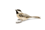 A Black-Capped Chickadee, Poecile Atricapillus Photographic Print by Joel Sartore