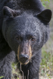 The Face of a Male Black Bear, Ursus Americanus, Coming Close Fotografie-Druck von Barrett Hedges