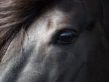 Icelandic Black Stallion, Iceland Photographic Print