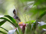 A Saw-Billed Hermit Feeds Off a Bromelia in Ubatuba, Brazil Impressão fotográfica por Alex Saberi