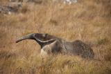 A Giant Anteater, Myrmecophaga Tridactyla, in a Grassland Lámina fotográfica por Cagan Sekercioglu