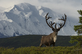 Mount Mckinley Looming over a Caribou, Rangifer Tarandus, in Denali National Park Photographic Print by Barrett Hedges