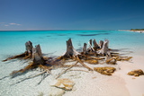 Dead Tree Stumps on a Caribbean Beach in Cuba's Cayo Largo Impressão fotográfica por Alex Saberi