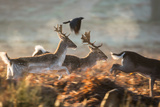 Three Fallow Deer Make a Dash Through the Forest at Sunrise in Richmond Park Impressão fotográfica por Alex Saberi