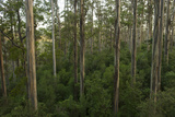 A Stand of Uniform Blue Gum, Eucalyptus Globulus, Trees and Understory in Wielangta State Forest Photographic Print by Bill Hatcher