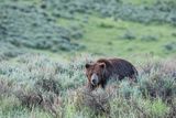 A Grizzly Bear Walks Through a Field of Grass and Sagebrush Photographic Print by Tom Murphy