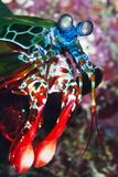 A Peacock Praying Mantis Shrimp Rests on a Coral Ledge Off Mabul Island, Sabah, Malaysia Photographic Print by Mauricio Handler