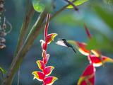 A Violet-Capped Woodnymph Hummingbird Feeds on Heliconia Rostratas in Ubatuba, Brazil Impressão fotográfica por Alex Saberi