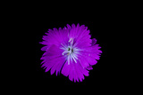 A Cultivated Sweet William Flower  Dianthus Barbatus