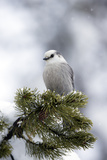 A Gray Jay, Perisoreus Canadensis Capitalis, Perched on a Snow-Dusted Evergreen Tree Branch Stampa fotografica di Robbie George