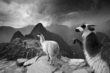 Llamas Overlook the Pre-Columbian Inca Ruins of Machu Picchu Fotoprint av Jim Richardson