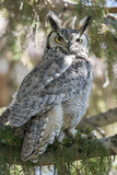 An Alert Great Horned Owl, Bubo Virginianus, Rests on a Tree Branch Photographic Print by Barrett Hedges