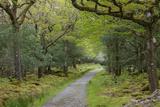 Path Through Tomies Wood in Killarney National Park, County Kerry, Ireland Impressão fotográfica por Jeff Mauritzen