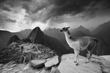 A Llama Overlooks the Pre-Columbian Inca Ruins of Machu Picchu Fotografisk tryk af Jim Richardson