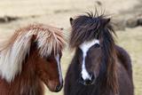 Icelandic Horses are Small, Often Pony-Sized, But are Long-Lived and Hardy Fotografisk tryk af Babak Tafreshi